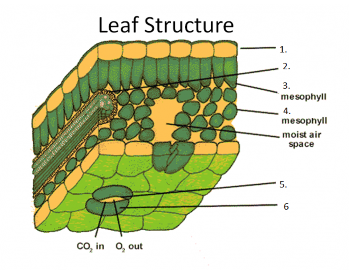 an analysis of the leaves in photosynthesis Photosynthesis is a process used by plants and other organisms to its production leaves chlorophyll in but analysis of.