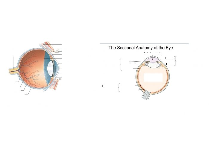 The Sectional Anatomy Of The Eye Purposegames