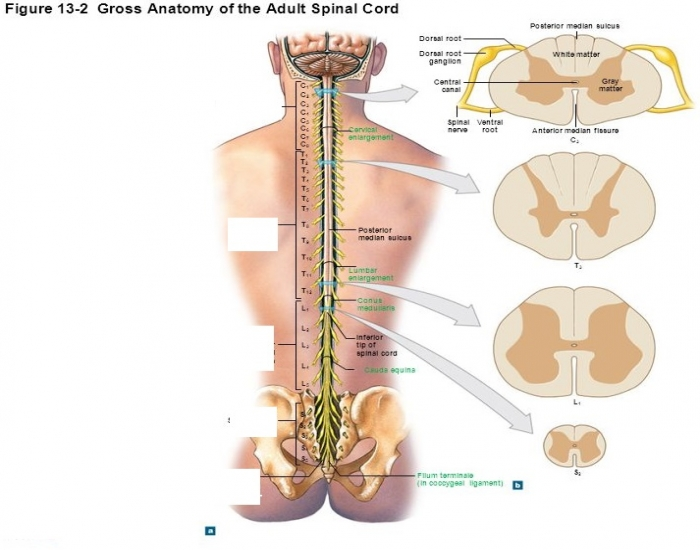 Spinal Nerves by Region* - PurposeGames