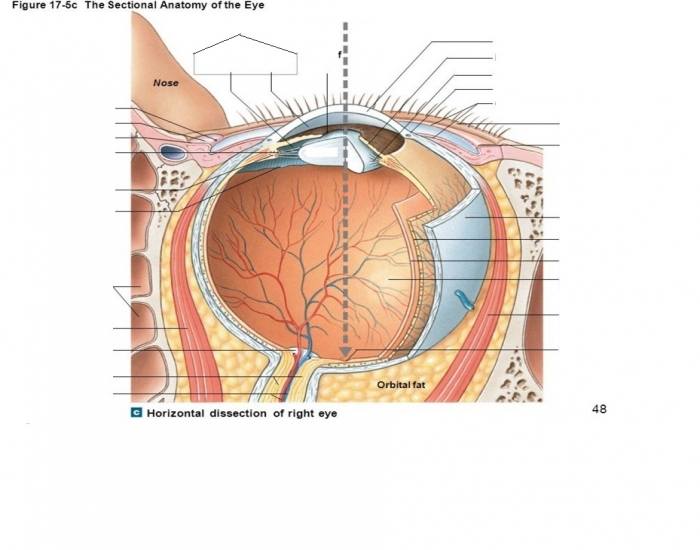 The anatomy of the eye purposegames ccuart Images