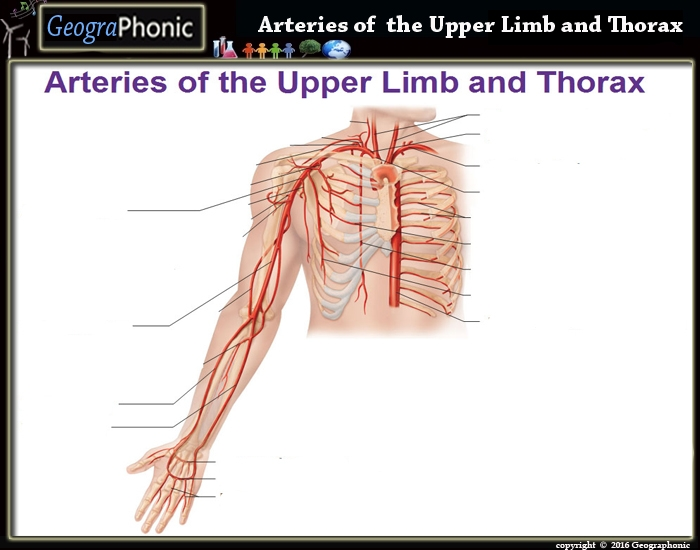 Arteries of the Upper Limb and Thorax - PurposeGames
