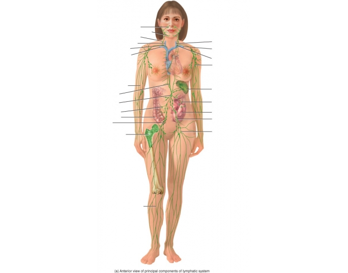Components Of The Lymphatic System Purposegames