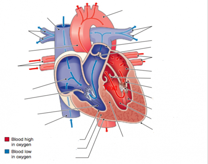 Heart diagram with blood flow - Printable