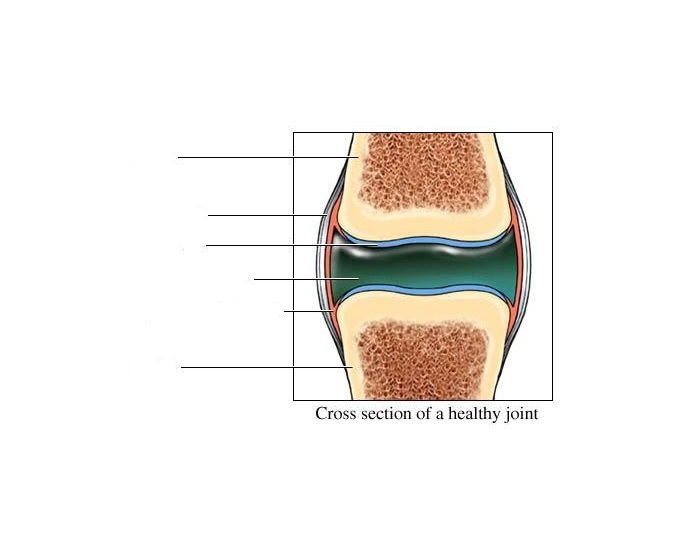Parts Of A Synovial Joint