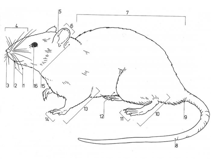 Rat External Anatomy - PurposeGames