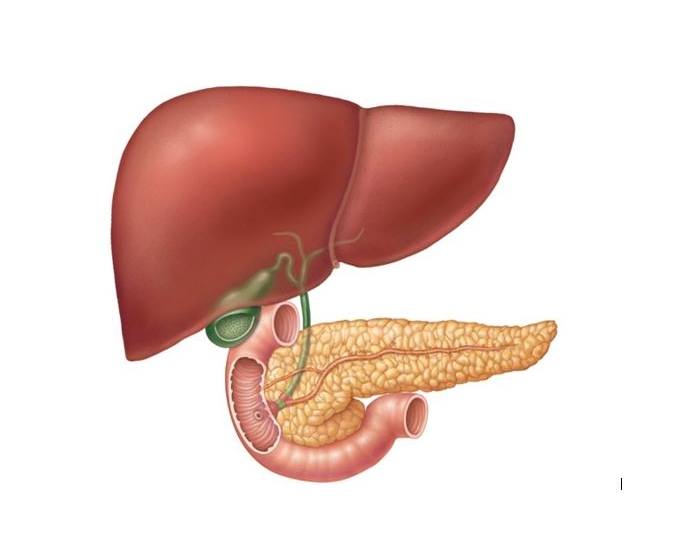Ducts And Accessory Digestive Organs