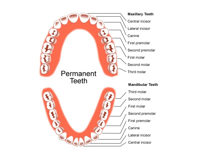 Eruption Dates Of Permanent Dentition