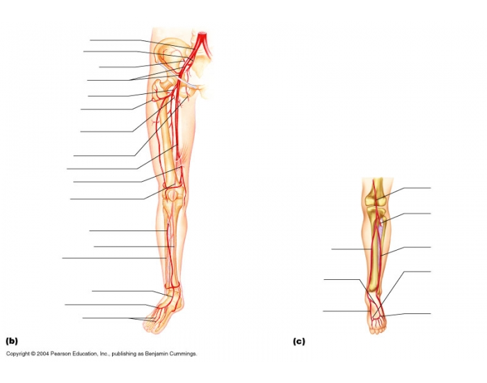 blank pelvis diagram arteries of the right pelvis and lower limb purposegames #2