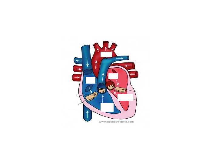 Blue and Red Heart Diagram