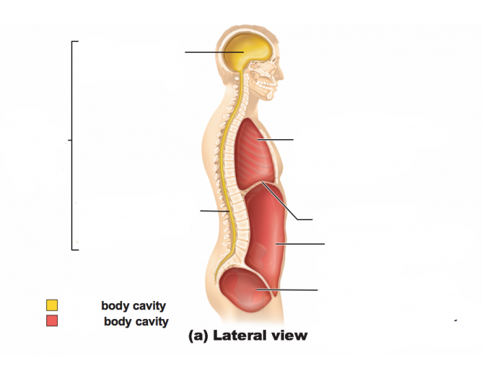 Body Cavities Lateral View Purposegames