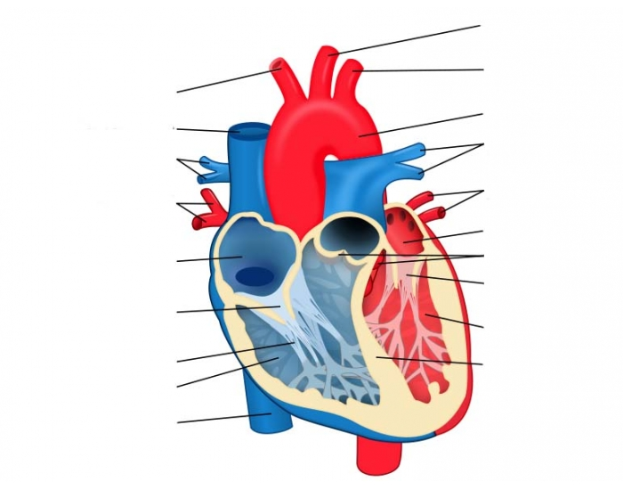 Heart diagram purpose games human heart games wire diagrams game statistics animal heart diagram purposegames game statistics animal heart diagram purposegames eye diagram game animal heart diagram ccuart Gallery