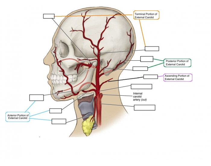 Branches Of The External Carotid Purposegames