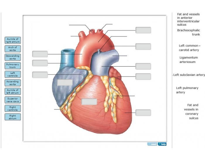 Game Statistics - e Superficial Anatomy of the Heart, Anterior View ...