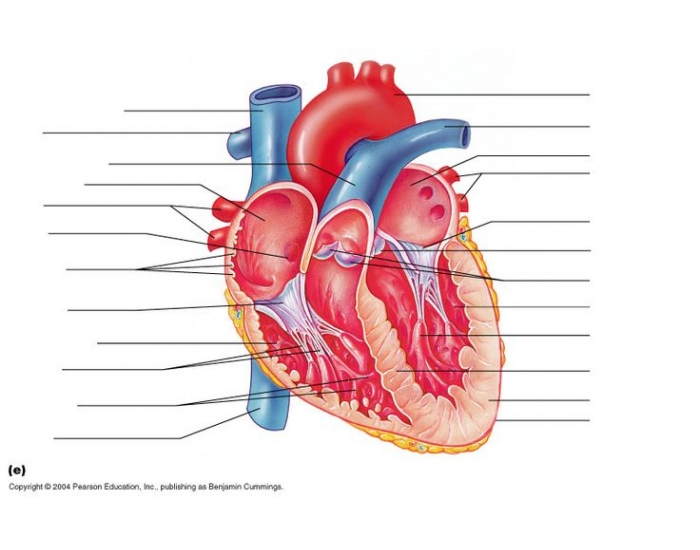 Gross Anatomy Of Heart Frontal Section Purposegames