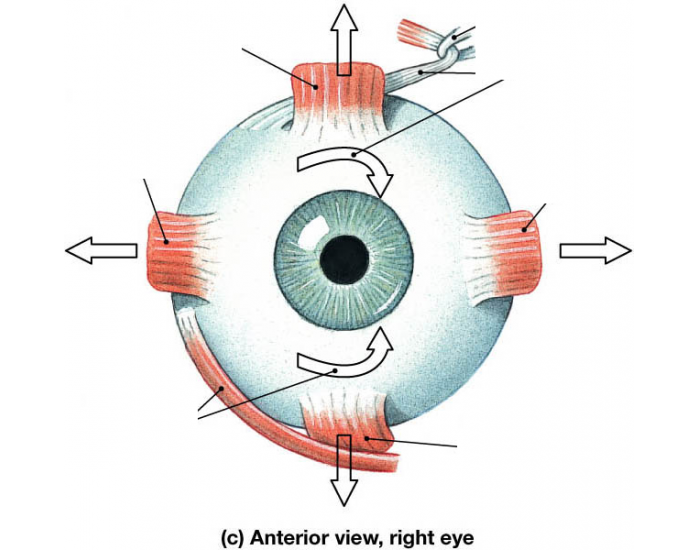 Game statistics anterior view of the eye muscles purposegames anterior view of the eye muscles ccuart Gallery