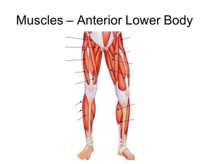Anterior View Of The Lower Body Muscles Purposegames