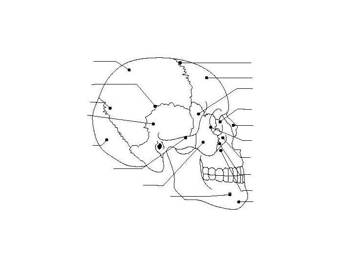 Name The Bones Of The Face And Skull