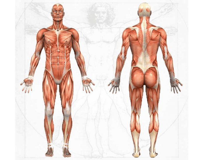 anatomy and physiology of the body Approaches in the human body nadia shepherd hca/220 elizabeth day 6/6/2013 the seven organizational approaches to study the human body and its system is body planes and body direction, body cavities, quadrants and regions, anatomy and physiology, body systems and medical specialties.
