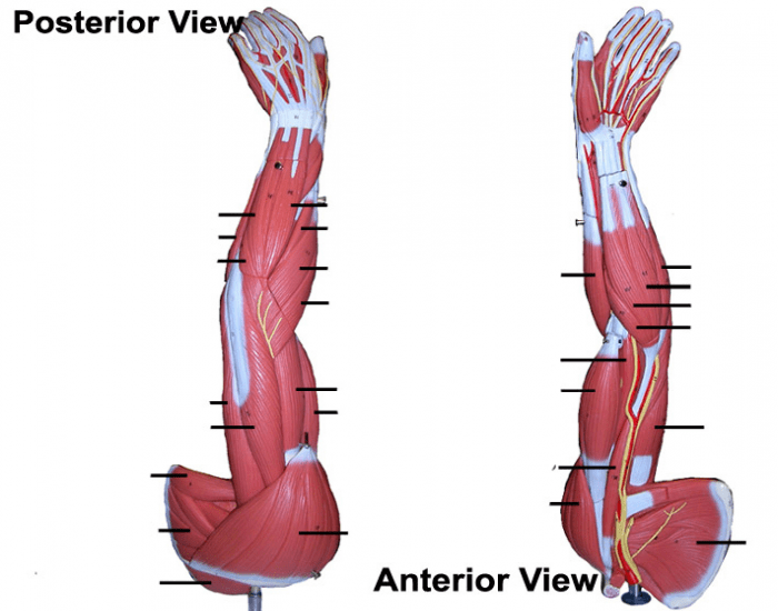 Muscles of superficial arm