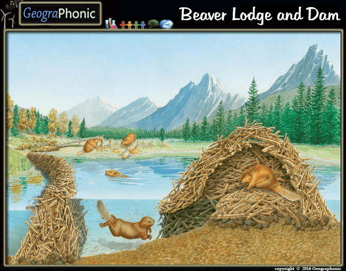 Beaver Lodge And Dam