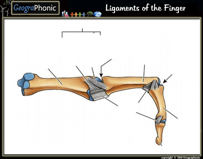 Game Statistics - Ligaments Of The Finger