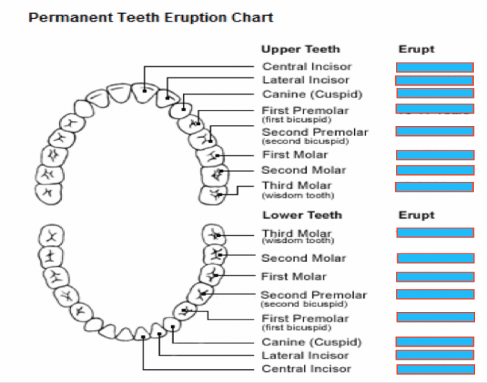 permanent tooth eruption chart purposegames