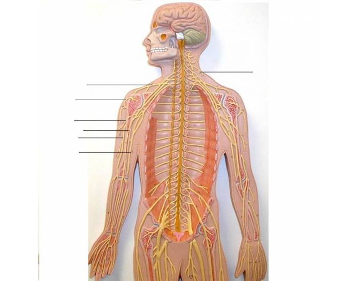 Match the terms to the spinal nerves - PurposeGames