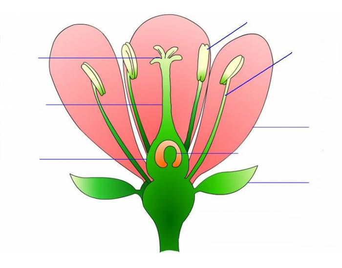 Draw A Well Labelled Diagram Of Hibiscus Flower | Diagram