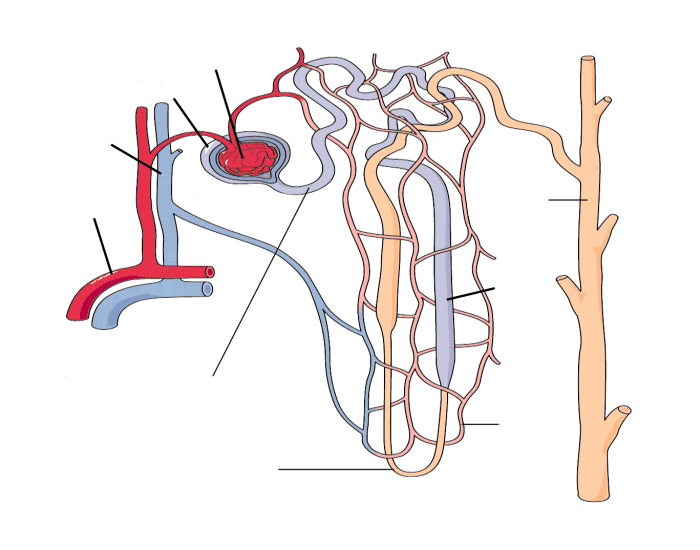 on Nephron Diagram Unlabeled