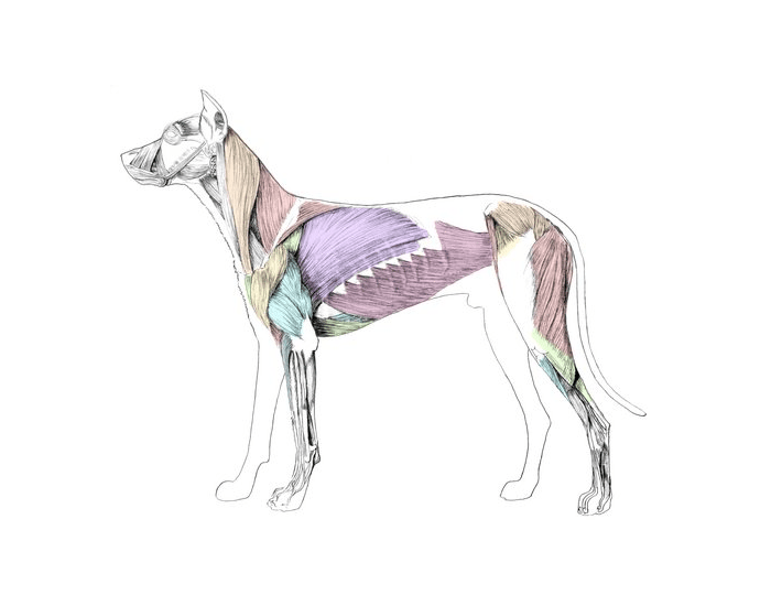 Major Superficial Muscles Of Dog