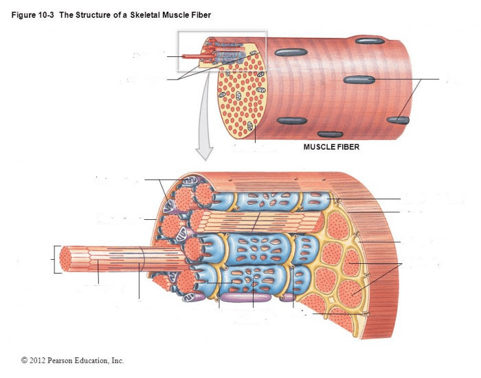 Structure of a skeletal muscle fiber - PurposeGames