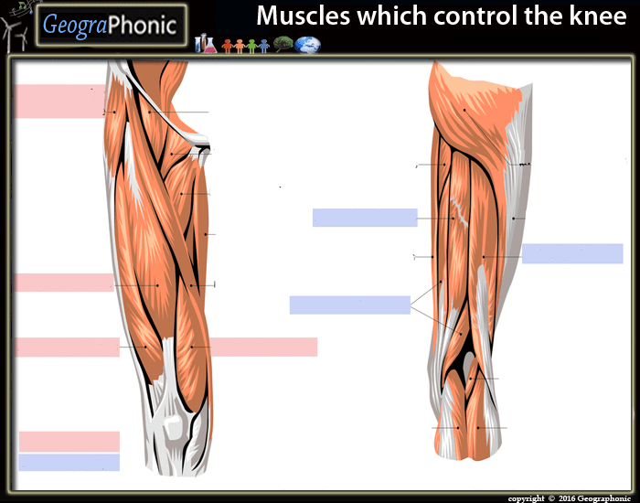 Muscles Which Control The Knee Purposegames