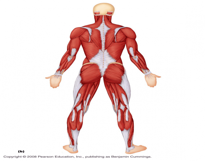 Posterior View Of Muscles Of Body