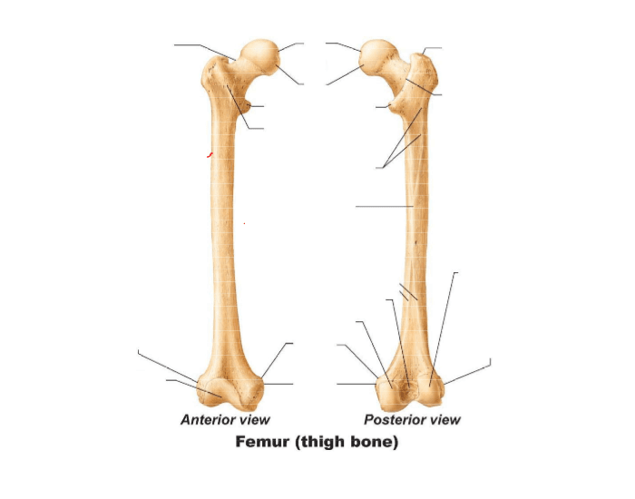 Femur Anatomy Quiz