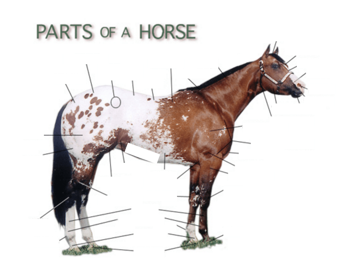 Surface Anatomy Of A Horse Purposegames