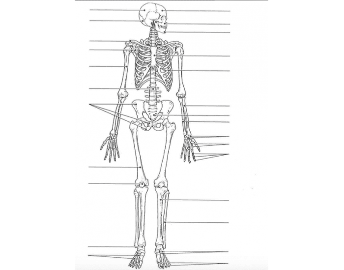 labeled diagram of articulated skeleton