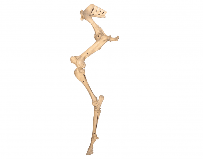 hind leg bones of the horse - advanced