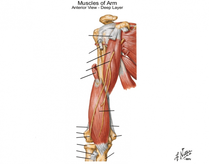 Muscles Of Arm-anterior Deep