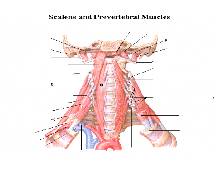 Scalene and Prevertebral muscles (plate 29)