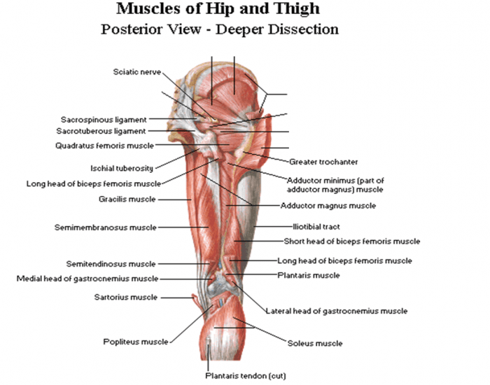 Muscles Of Hip And Thigh Posterior View Purposegames