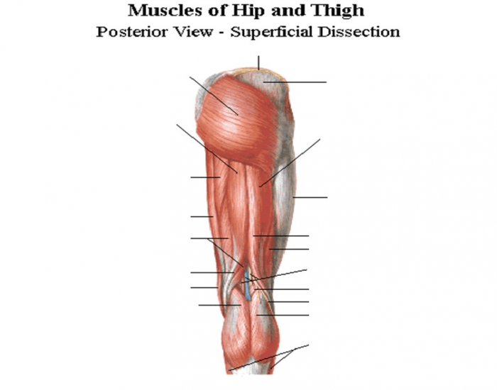 Muscles Of Hip And Thigh Purposegames
