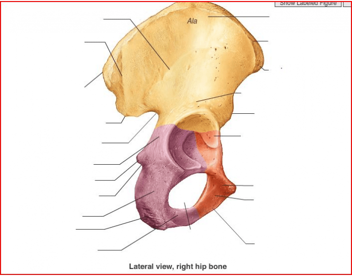 Lateral View Of Coxal Bone