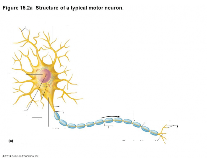 Neuron diagram pearson collection of wiring diagram neuron and correct answer research paper academic writing service rh ltessayppht skylinechurch us basic neuron diagram neuron diagram labeled ccuart Image collections