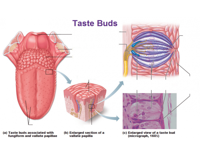 Game Statistics Location And Structure Of Taste Buds And Tongue