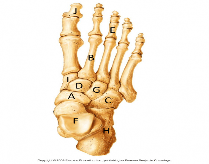 Capital Foot And Ankle >> FINAL: Foot Bone Labeling - PurposeGames