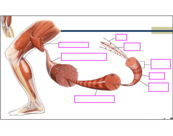Game Statistics Skeletal Muscle Diagram Purposegames