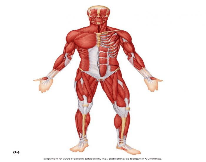 Skeletal Muscle Matching - Front Of The Body