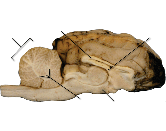 Label the parts of a Sheep Brain (Midsagittal)