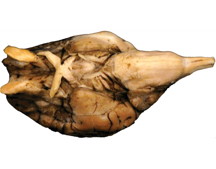Label the Parts of a Sheep Brain (ventral)