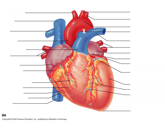 Label The Heart Diagram Anterior View